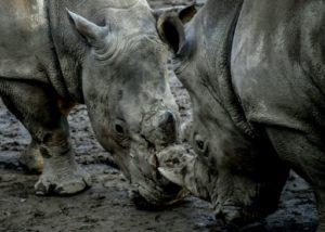 braconnage rhinoceros afrique du sud recul