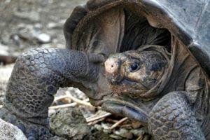 tortue galapagos