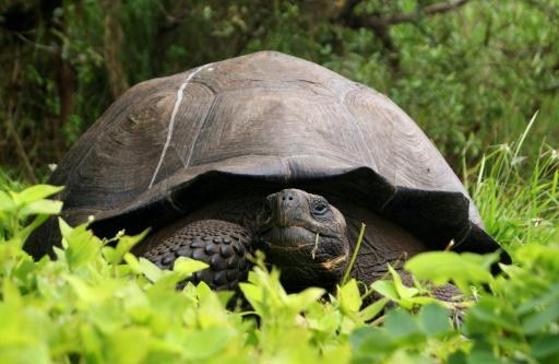 tortue geante galpagos