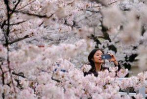 cerisiers fleur japon