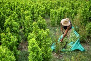 champs de coca colombei venezuela