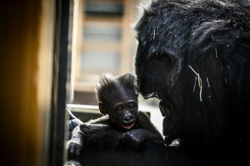 bebe gorille