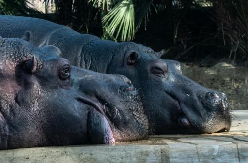 zambie hippopotames