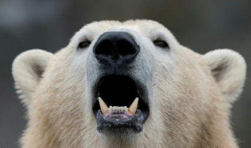 ours polaires arctique russe