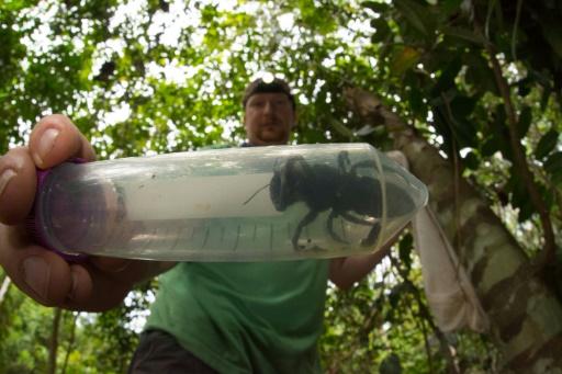 plus grosse abeille du monde