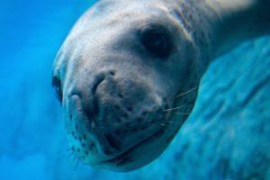 léopard de mer leopard des mers dejection clef usb