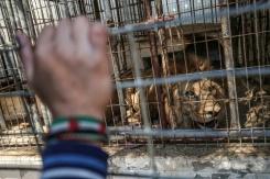 lions zoo de gaza