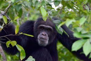 chimpaneés diversite culturelle disparition