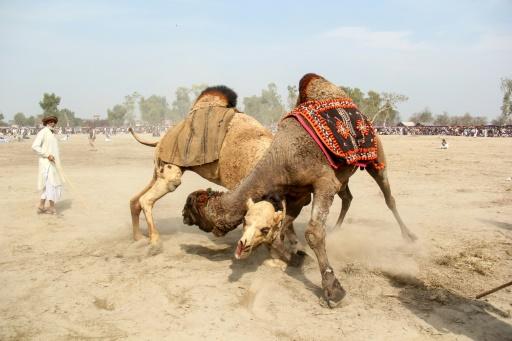 combat de chameaux pakistan