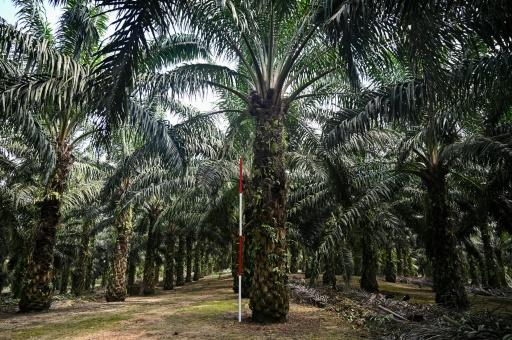 deforestation malaisie palmier à huile nain