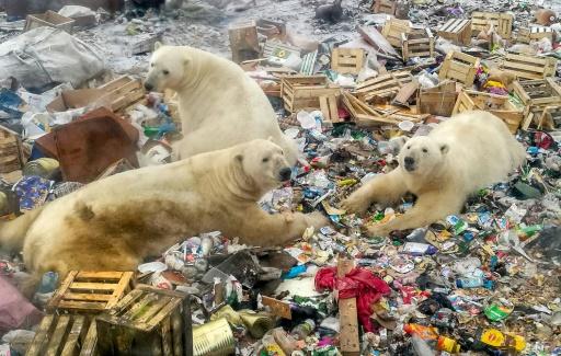 arctique russe ours polaires