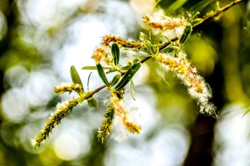 pollen rechauffement climatique allergies