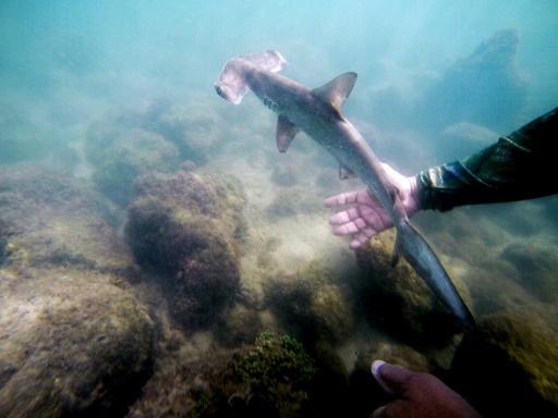 galapagos sanctuaire requins