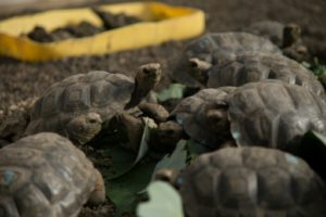 tortues géantes galapagos