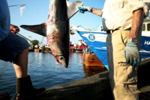 requins espece menacée