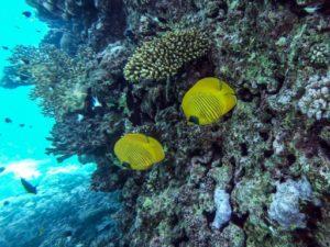 mer rouge coraux