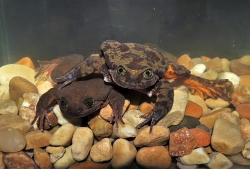 amphibiens pandemie epidemie