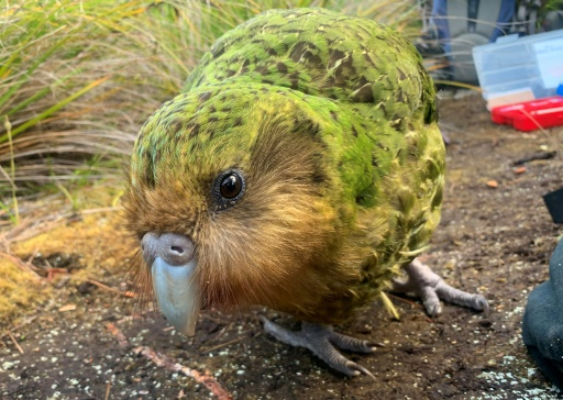 kakapo, réchauffement climatique