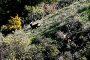 chypre mouflons