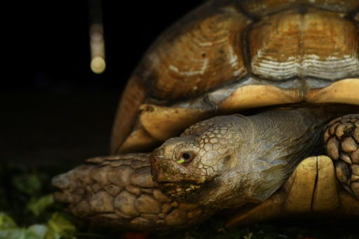 Un braconnier récidiviste, par ailleurs garde tortue du conseil départemental à Mayotte, a été condamné lundi à un an d'emprisonnement ferme pour avoir notamment dépecé deux animaux sur une plage de Petite-Terre © AFP/Archives Marvin RECINOS
