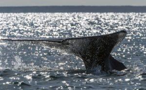 baleines péril