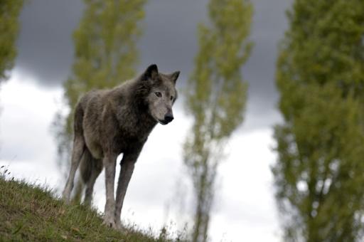 Un loup mâle. © AFP/Archives MIGUEL MEDINA