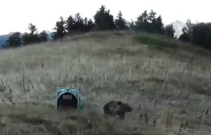 attaque brebis ours