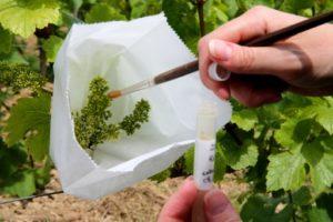Un technicien du du Comité Champagne, ex-CIVC (Comité interprofessionnel du Vin de Champagne), fait un prélèvement sur du vignoble à Epernay, le 18 juin 2019 © AFP FRANCOIS NASCIMBENI