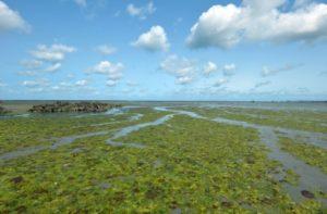 Des algues vertes près de Hillion, dans la baie de Saint-Brieuc, le 10 août 2014 dans les Côtes d'Armor © AFP/Archives MIGUEL MEDINA