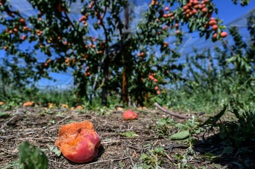 Des abricots détruits par la grêle dans un verger de la Roche-de-Glun à l'ouest de Romans-sur-Isère, épicentre de la tempête, le 16 juin 2019 © AFP PHILIPPE DESMAZES