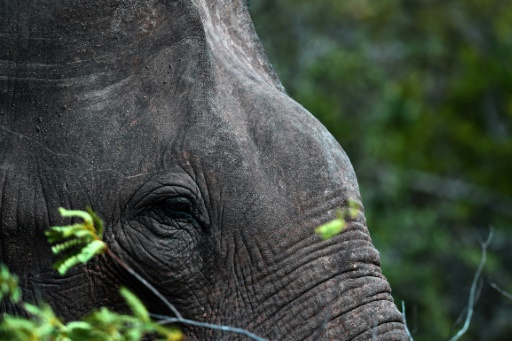 Un éléphant dans le parc national de Yala, au Sri Lanka, le 1er juin 2019. Le pays vient de lancer sa première procédure judiciaire contre le trafic d'éléphants © AFP ISHARA S. KODIKARA