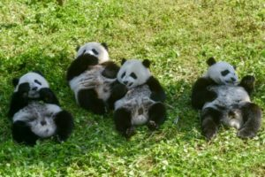 Des jeunes pandas jouent dans l'herbe à la réserve de Shenshuping, le 13 juin 2019 à Wenchuan, dans la province chinoise du Sichuan © AFP STR