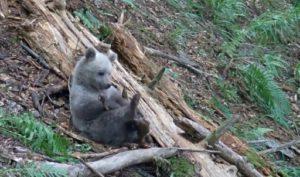 Un ourson dans les Pyrénées espagnoles, le 28 août 2014, dans le Val d'Aran © PYRENEES ANIMAL PARK/AFP/Archives -