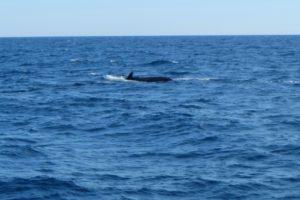Une baleine observée depuis un voilier du WWF dans le sanctuaire Pelagos, le 5 juin 2019 en mer Méditerranée © AFP Laure FILLON