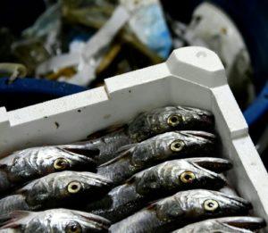 Une caisse de poissons à bord d'un bateau italien, le 23 mai 2019 au large de San Benedetto del Tronto © AFP Filippo MONTEFORTE