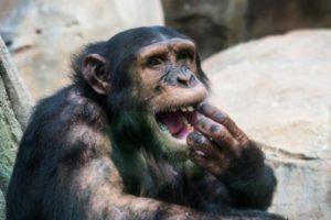 Chimpanzé dans un parc zoologique en France le 1er août 2018 © AFP/Archives GUILLAUME SOUVANT