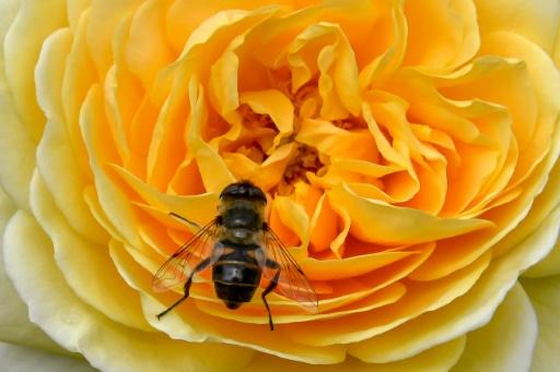 """Faudra-t-il rebaptiser cette année le miel français miel de Bretagne ? La question peut paraître provocante, mais la région est la seule de France à avoir évité une récolte de miel """"catastrophique"""", selon les apiculteurs français, qui pointent des conditions climatiques désastreuses © AFP/Archives PHILIPPE HUGUEN"""