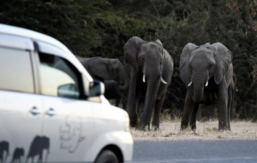 Des éléphants au bord d'une route à Kasane, dans le nord du Botswana, le 28 mai 2019 © AFP MONIRUL BHUIYAN