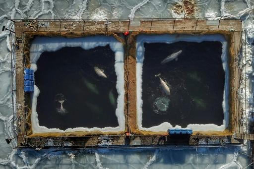 Photo aérienne de mammifères marins captifs prise dans l'extrême-orient russe le 22 janvier 2019 © AFP/Archives Sergei PETROV