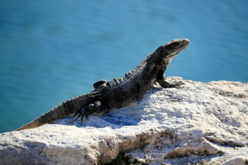 Lézard sur la plage del Carmen, au Mexique, le 9 novembre 2018 © GETTY IMAGES NORTH AMERICA/AFP/Archives Cliff Hawkins