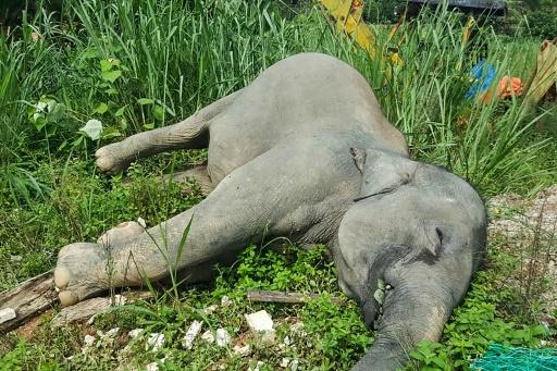 Un éléphant mort à Kluang, dans l'Etat de Johor dans le sud de la Malaisie, sur une photo non datée fournie par le Département des parcs nationaux et de la faune sauvage le 7 juin 2019 © Malaysia Department of Wildfife and National Parks/AFP Handout
