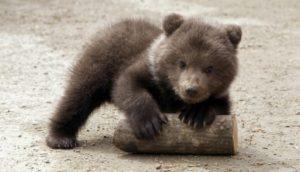 Un ourson brun âgé de trois mois au zoo de Stavropol dans le sud de la Russie, le 21 avril 2010 © AFP/Archives DANIL SEMYONOV