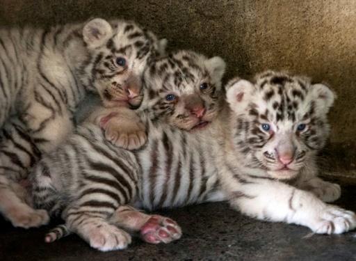 Trois bébés tigres nés en captivité au zoo La Pastora à Monterrey au Mexique, le 24 avril 2019. L'espèce est en danger. © AFP/Archives Julio Cesar AGUILAR
