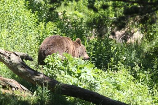 Le gouvernement a annoncé qu'il n'y aurait pas de nouvelle réintroduction d'ours dans les Pyrénées © AFP/Archives RAYMOND ROIG