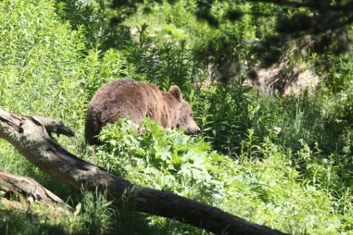 Des élus et éleveurs de l'Ariège ont réclamé jeudi que l'Etat retire des ours dans la zone après la mort de plus de 250 brebis tombées d'une crête dans le massif de l'Aston suite, selon la préfecture, à la présence d'un ours © AFP/Archives Raymond ROIG