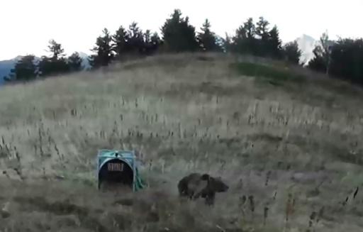 Capture d'image d'une vidéo de l'Office national de la chasse et de la faune sauvage (ONCFS) montrant la réintroduction d'une femelle ours dans les montagnes des Pyrénées-Atlantiques, le 5 octobre 2018 © l'Office national de la chasse et de la faune sauvage (l'ONCFS)/AFP/Archives -