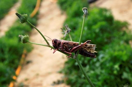 Une invasion de millions de sauterelles dans le centre de la Sardaigne suscite l'inquiétude des agriculteurs de la région où quelque 2.500 hectares de terres ont déjà été dévastés par ces insectes © AFP/Archives SAID KHATIB