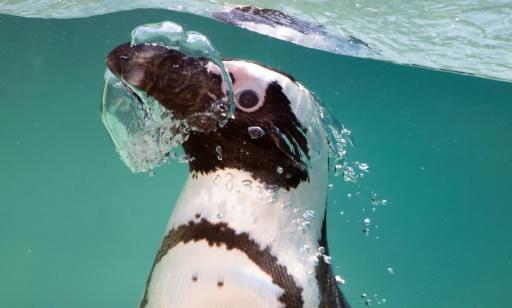 Les manchots du Cap ont le chic pour remonter des profondeurs des petits poissons © AFP/Archives Tiziana FABI