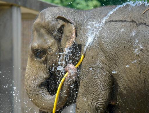 Un éléphant se rafraichit avec un tuyau d'arrosage au zoo de Belin le 25 juin 2019 © AFP Tobias SCHWARZ
