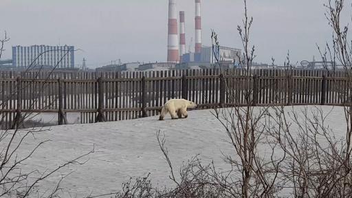 Capture d'image le 18 juin 2019 d'une vidéo diffusée sur le compte Instagram @putoranatour montrant un ours polaire affamé errant à la périphérie de la ville industrielle de Norilsk, dans l'Arctique russe © Instagram account @putoranatour/AFP HO